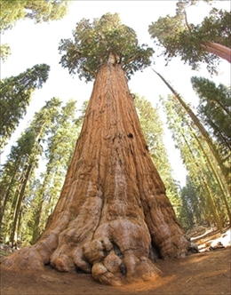 800px-General_Sherman_tree_looking_up