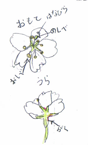 sakura.pic
